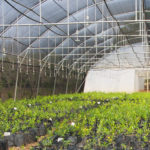 Lowveld Pomegranate Tree suppliers - Riverside Wholesale commercial Nursery