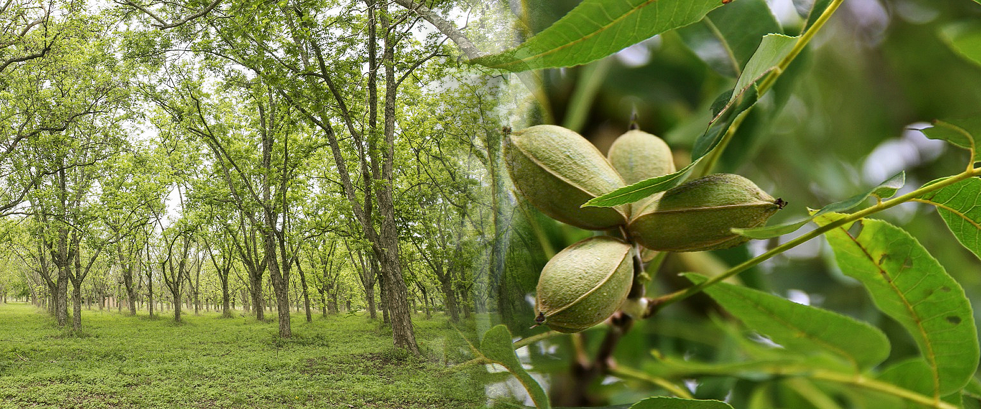 Lowveld Pecan Nut Tree suppliers - Riverside Wholesale commercial Nursery